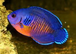 Coral Beauty Dwarf Angelfish