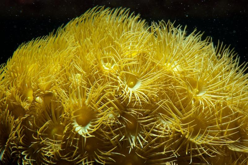 Canary Yellow Parazoanthus Frag 6-8 Polyps