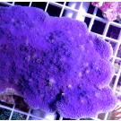 Purple Plating Montipora Frag Small