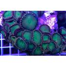 Electric Apple Palythoa Frag Approx 5 Polyps