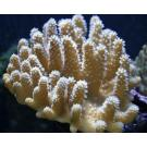 Pearl Polyped Lobed Finger Leather Small Colonies