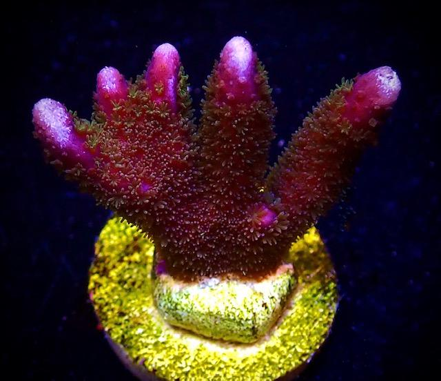 Bali Purple Montipora Digitata Frag *** ( 40% Discount Offer ) ***