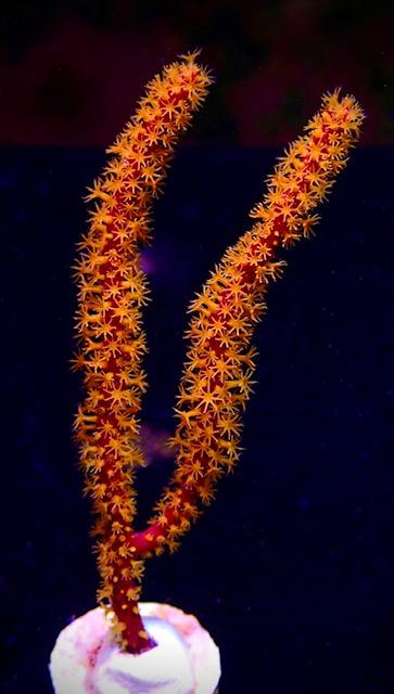 Golden Polyped Reef Gorgonian