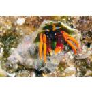 Large Mexican Hermit Crab 5 Pack