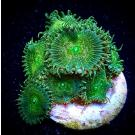 Golden Silk Palythoa Frag- 10+ Polyps