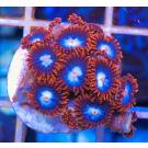 Fire And Ice Zoanthid Frag 8+Polyps