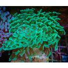 "WYSIWYG Metallic Green Hammer Colony 19 ( 3"" - 4"" )"